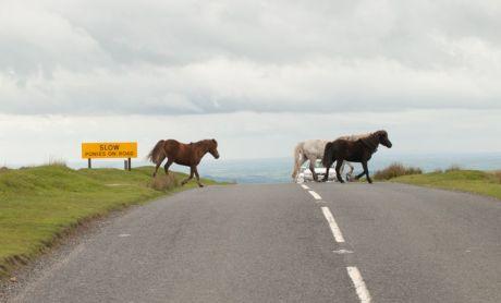 ponies on road yelverton
