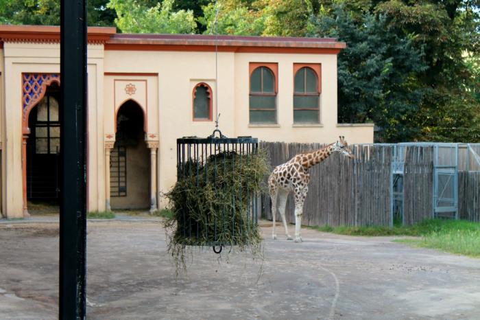 giraffa1