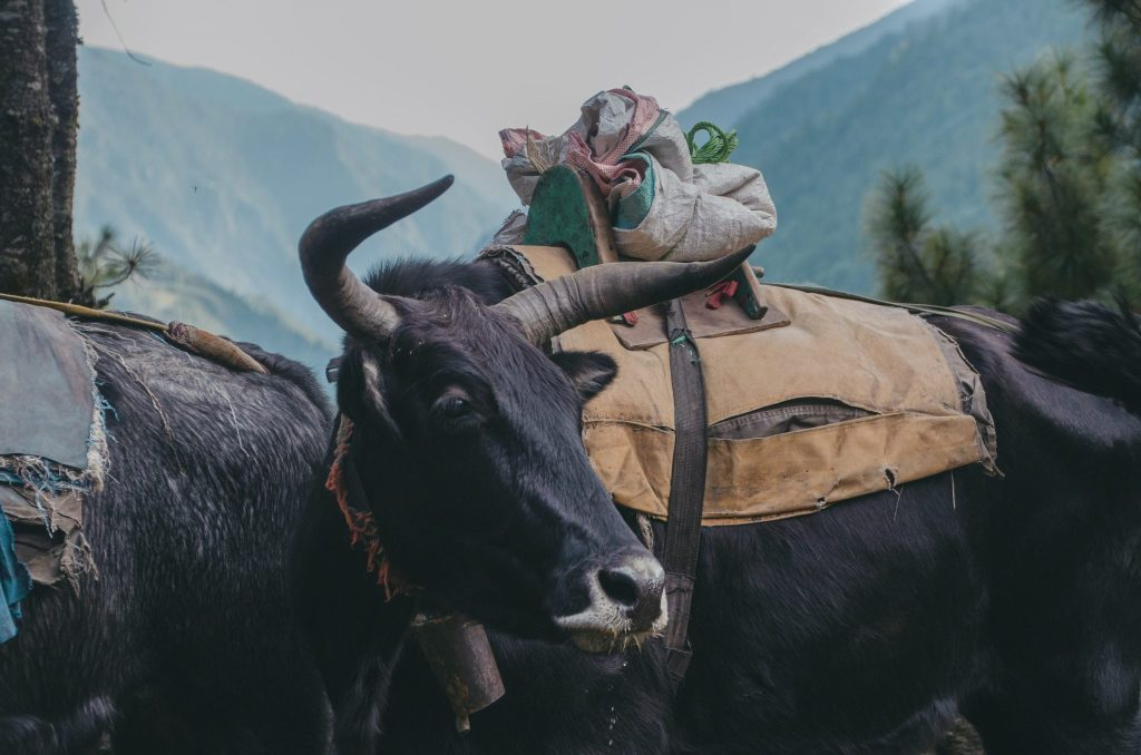 everest base camp yak