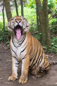 tigre ammaestrata