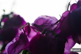 Púrpura.