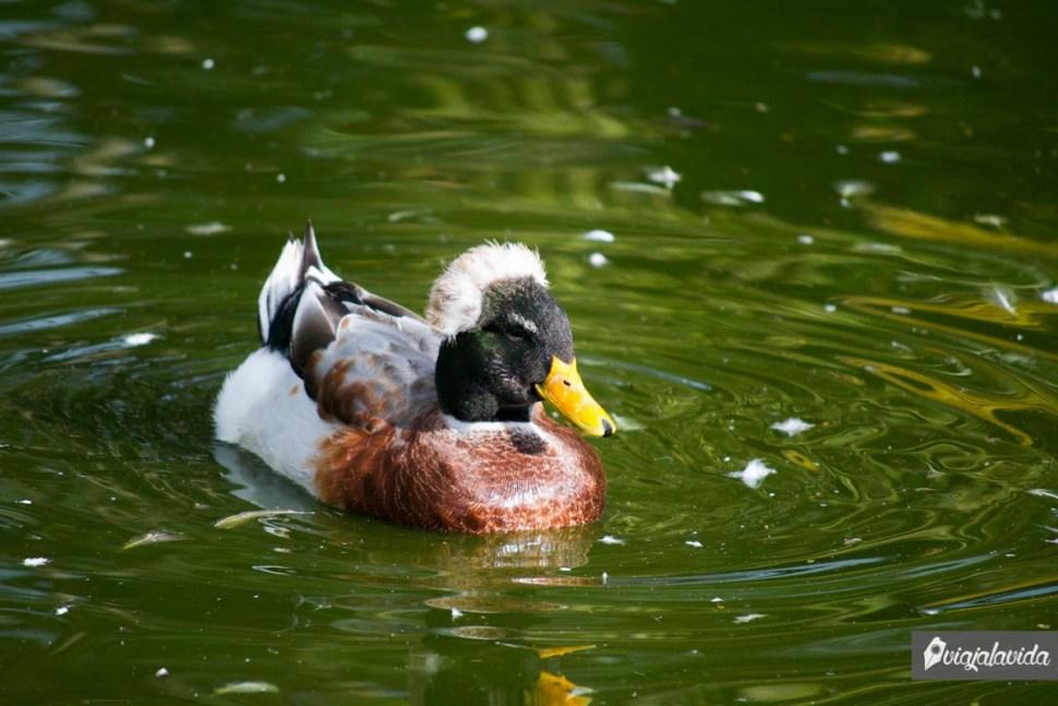 Pato en el agua del lago
