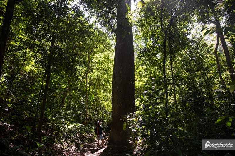 Enormes árboles en el parque Tayrona.