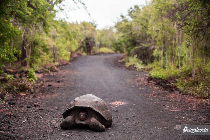 Tortuga Galápago en medio del camino