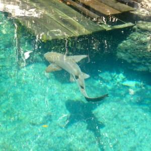 Você mergulharia com tubarões?
