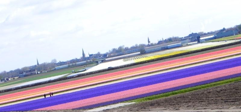 Os campos de flores!