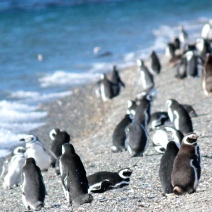 Conhecendo os pinguins da Isla Martillo e as lindas Árvores Bandeira