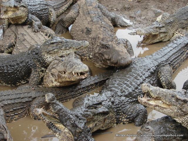 cienaga-de-zapata-criadero-de-cocodrilo