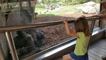 observando al gorila