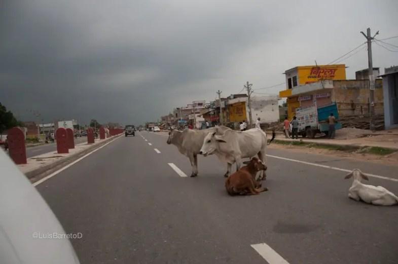 viajando-india-calles-vacas