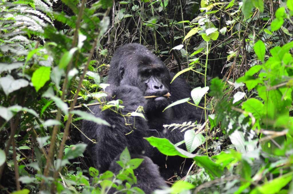 Uganda, Bwindi, gorila