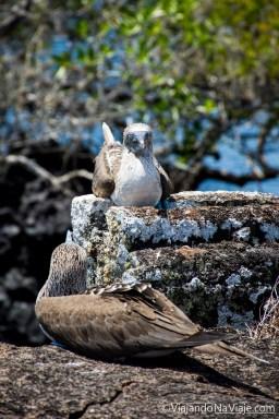 """Serie: Galapagos Experience 2017 // Fotos y Edición: Felipe """"Pipo"""" (viajandonaviaje.com) // Birds of Galapagos"""