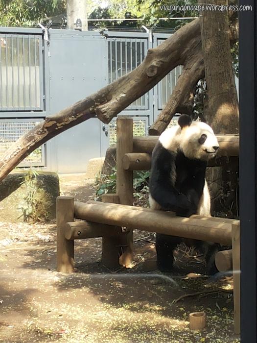 Giant_panda_Ueno_Zoo