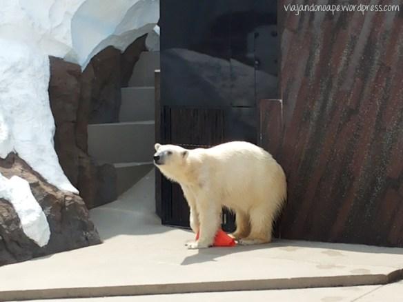 urso polar_polar bear_Ueno Zoo