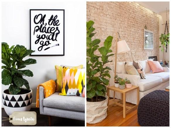 ficus-lyrata-figueira-lira-plantas-dentro-de-casa-ambientes-fechados-internos-decoracao-7