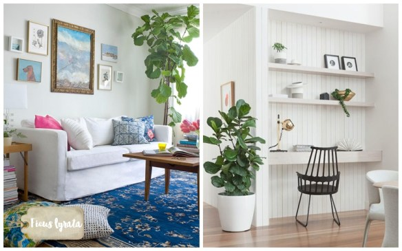 ficus-lyrata-figueira-lira-plantas-dentro-de-casa-ambientes-fechados-internos-decoracao1