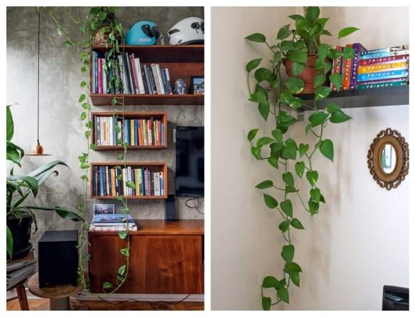 jiboia na decoracao plantas para ambientes internos jiboia estante prateleira