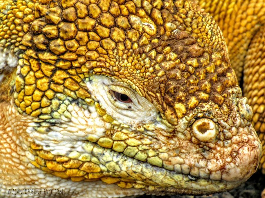 lagarto viajando por un sueño galápagos