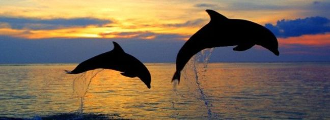 lovina-delfines