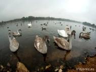 Anátidas en el lago Wöhrder See