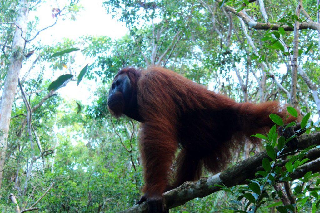 Otro orangután fuera de los comederos