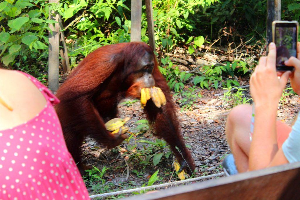 Orangután glotón
