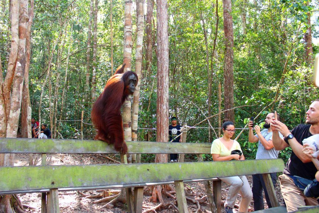 Orangután trepando bancos