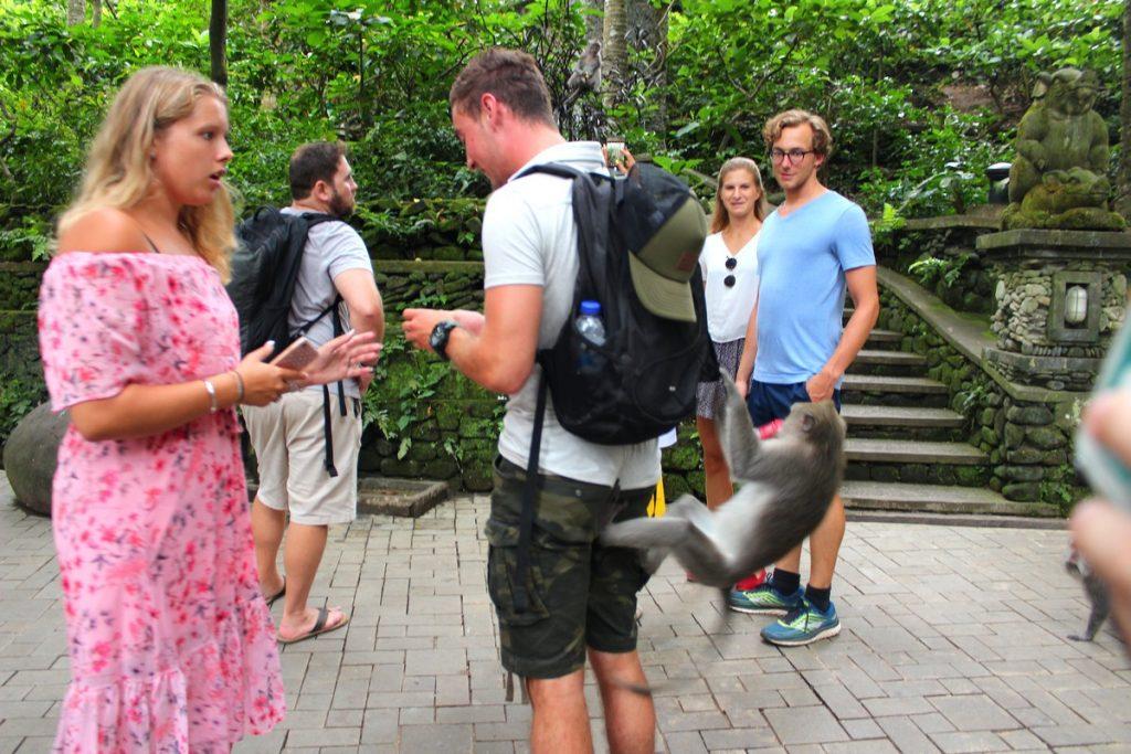 Otro mono intentando robar en mochila ajena en el Monkey Forest de Ubud