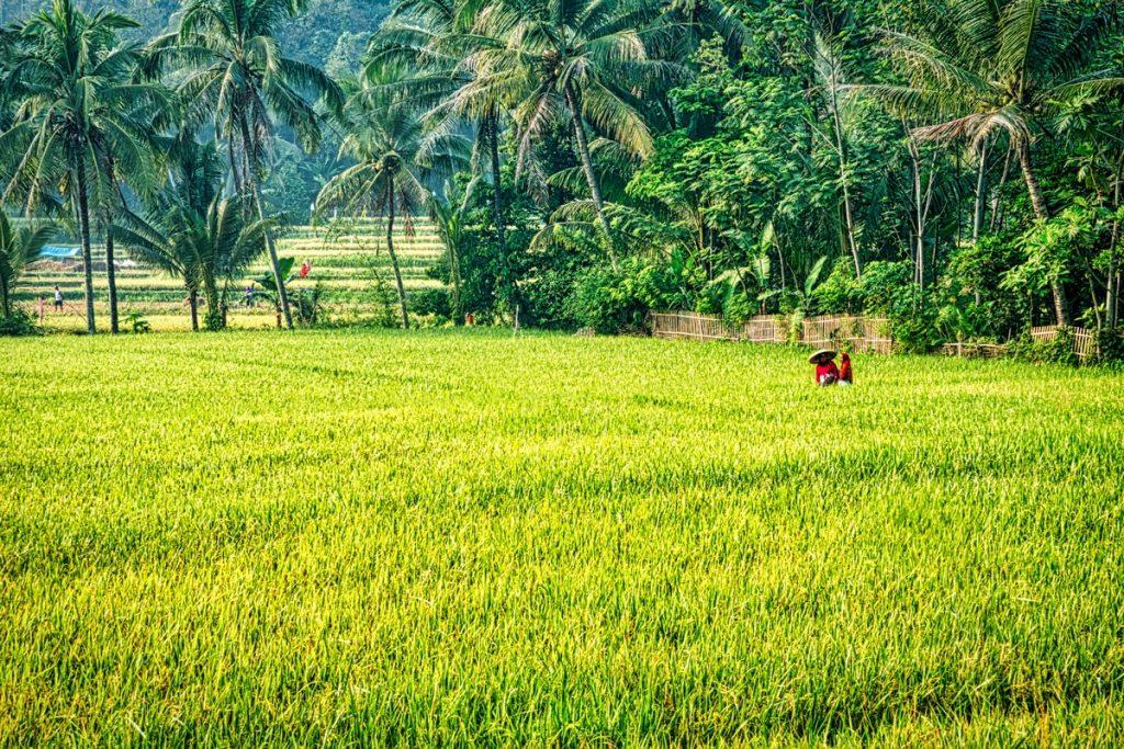 Campos de arroz en Sidemen
