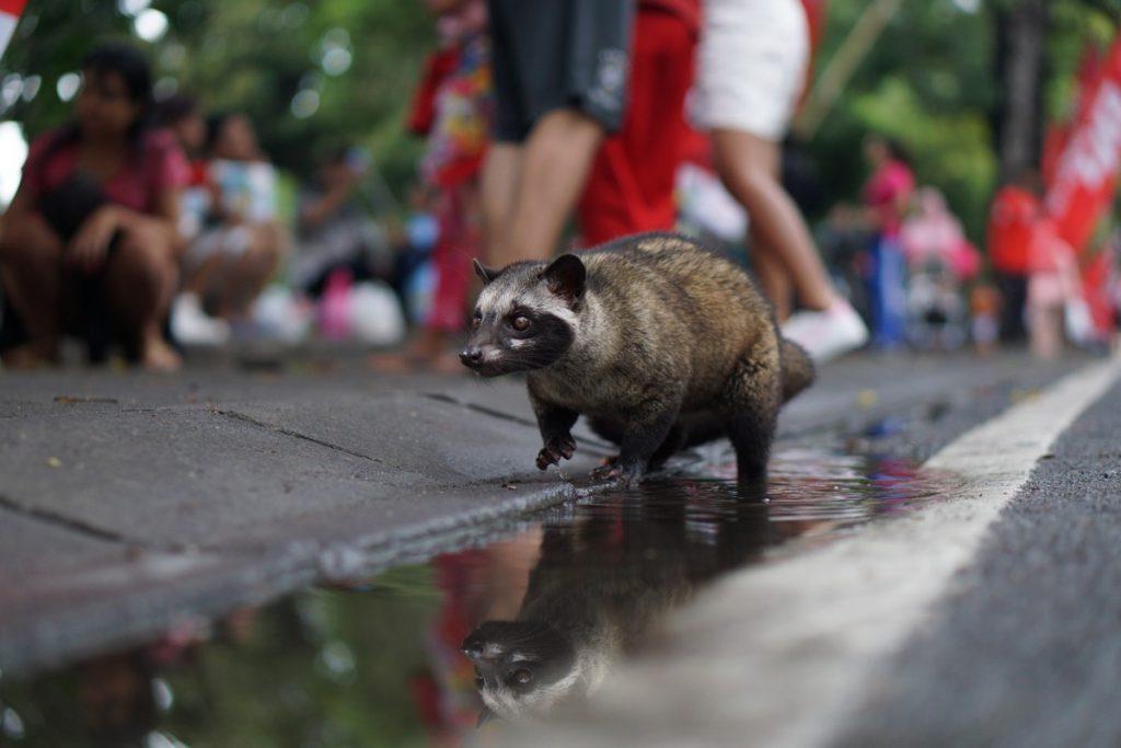 Luwak por las calles de Ubud