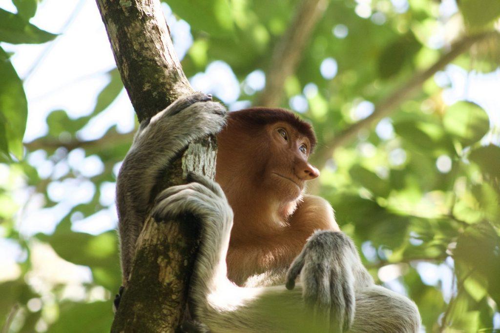 El mono narigudo de Borneo