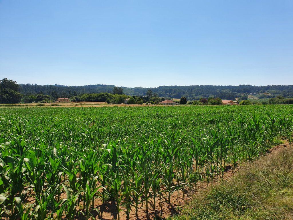 Los campos de maíz en el camino de santiago