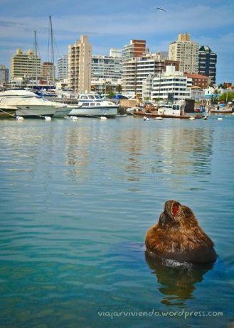 lobo marino en puerto de Punta del Este Uruguay
