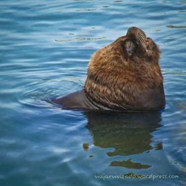 Lobo marino - puerto de Punta del Este Uruguay