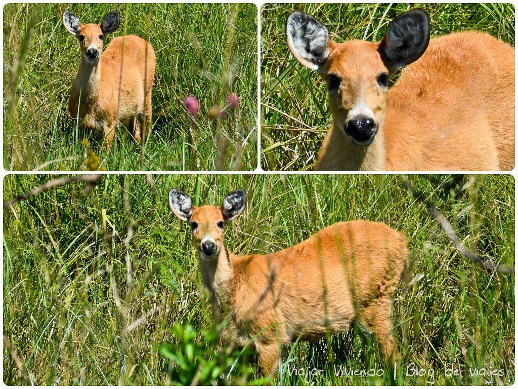 ciervo de los pantanos - viajar a los Esteros del Iberá