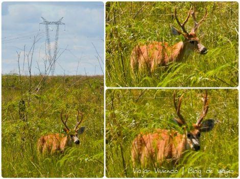 ciervo macho con cornamenta ibera
