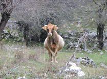 La vaca ni se inmutaba