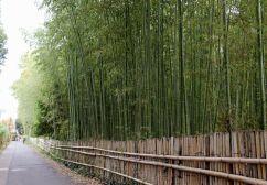 Bambús Arashiyama Kioto