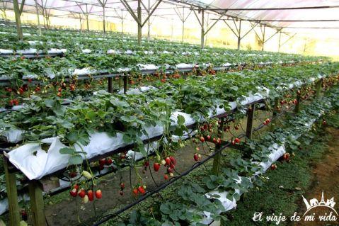 Las fresas de Cameron Highlands en Malasia