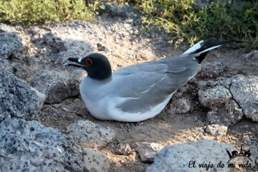 Gaviota de Galápagos