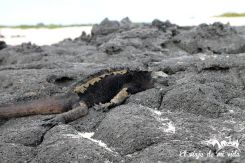 Una iguana marina