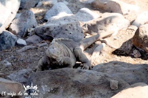 Iguanas en Galápagos