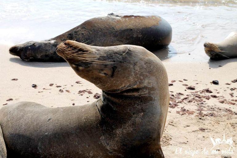 León marino en Galápagos