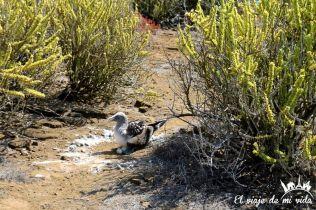 Los piqueros de patas azules poniendo sus huevos en Punta Pitt