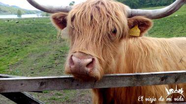 Vacas escocesas