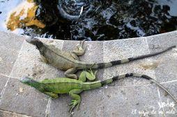 Iguanas de colores en Guayaquil, Ecuador