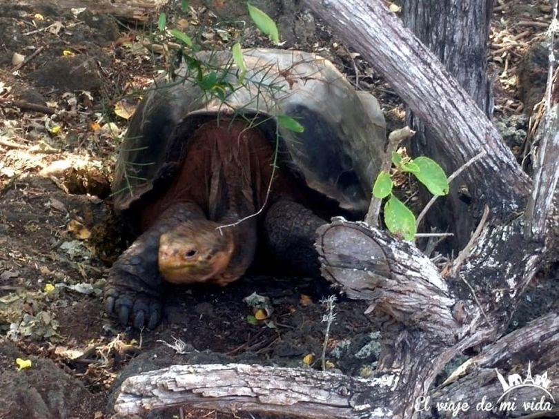 Las tortugas de Galápagos