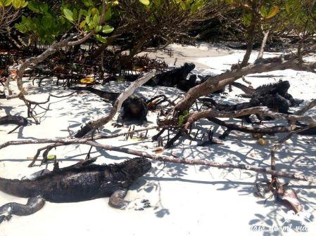 Iguana marina en Playa Brava, Galápagos