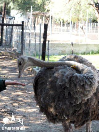 Granja de avestruces en Sudáfrica