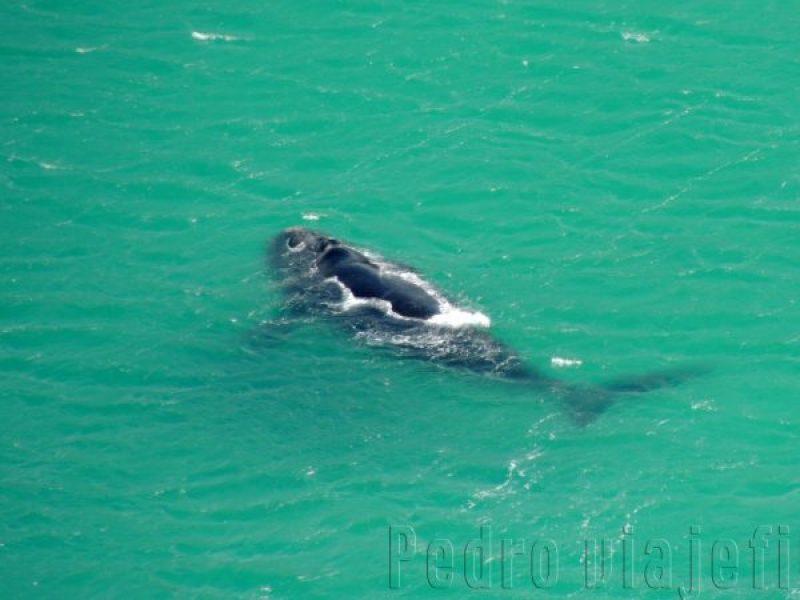 Ballenas en Bahía Hermanus, en la península del Cabo